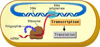 Transcription in bacteria how does it happen Transcription is the process by which genetic information from DNA is transferred into RNA.