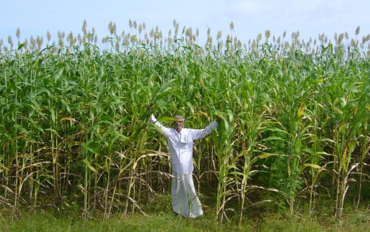 CSH 22 SS first sweet sorghum hybrid used for biofuel in India IIMR and ICRISAT Partnership hybrid released in 2005