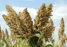 Net returns to farmers are higher from sweet sorghum than grain sorghum (India)* Sweet sorghum Grain sorghum