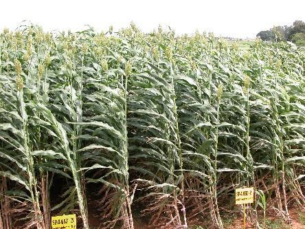 5 Stalk yield (t ha -1 ) 20 4 (dry) Grain value (US$ season -1 ) 234 365 Stalk value (US$ season 1 ) 293 50