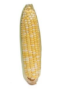BIOTECH MAIZE Maize is one of the three most important grains of the world. It is used as livestock feeds, processed as cooking oil and food additives, and currently as feedstocks for biofuels.