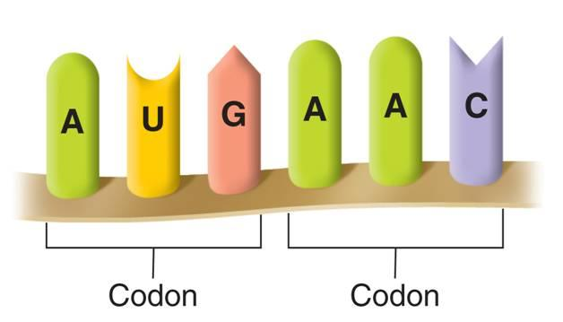 The Genetic Code A codon consists of three consecutive