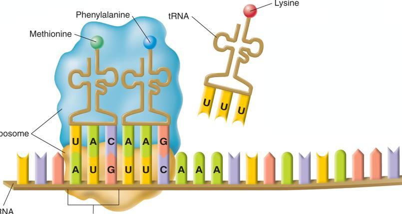 Translation The ribosome binds new trna molecules and amino acids as it moves