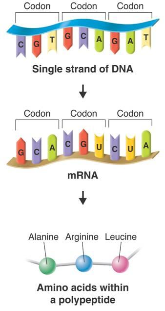 Codon Genes and Proteins Codon Codon The sequence of bases in DNA is used as a template for mrna.
