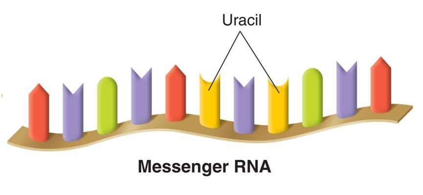 Types of RNA Messenger RNA (mrna) carries copies of