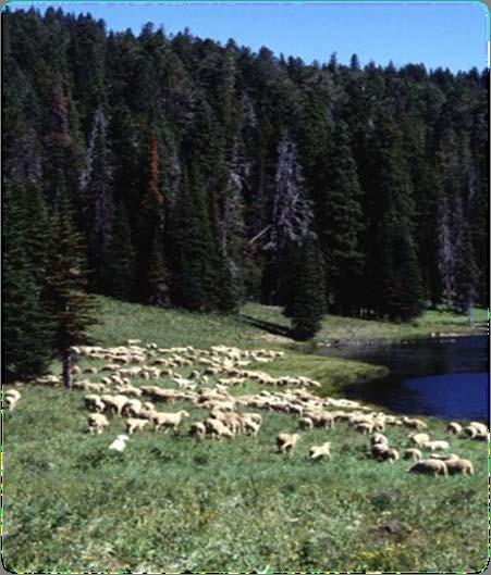 Intensive grazing systems Perennial