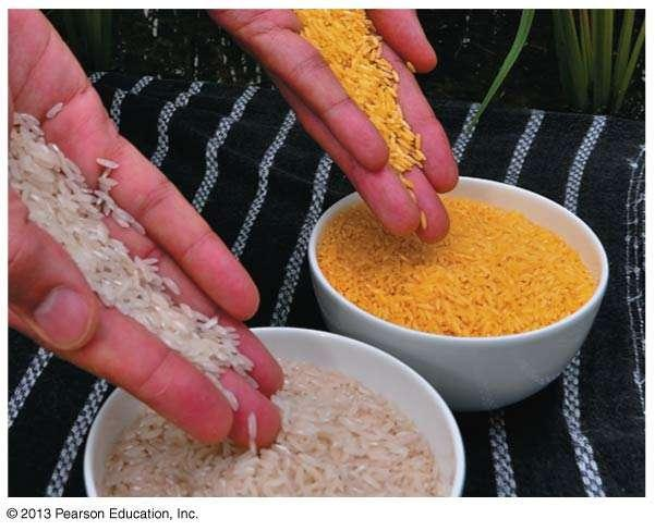Genetically Modified (GM) Foods Golden rice 2