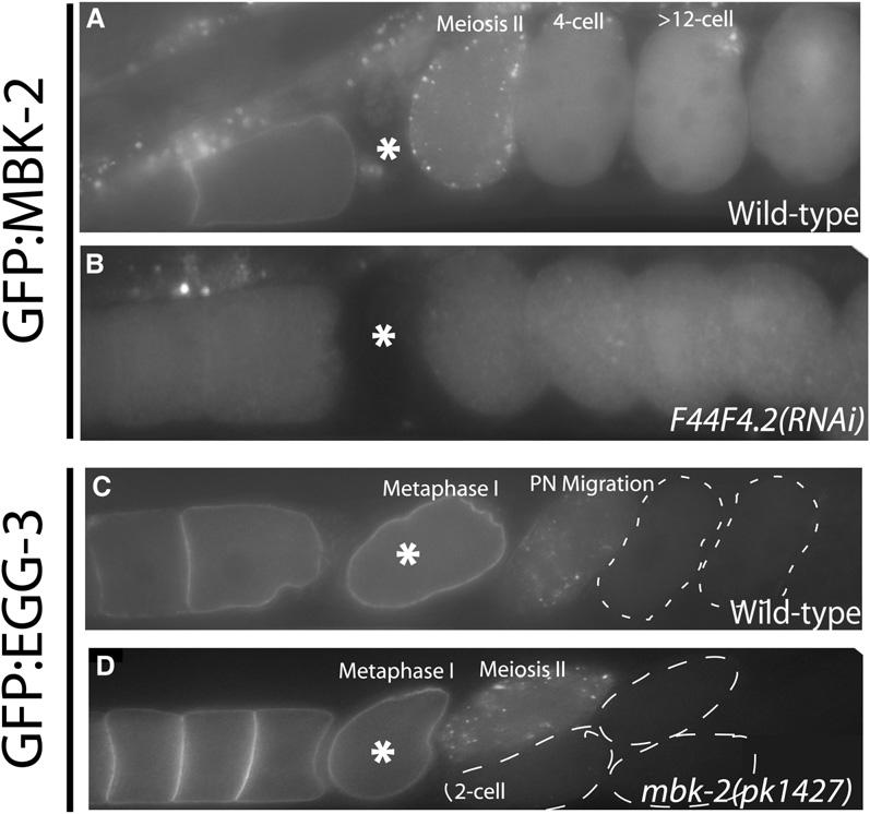 Current Biology Vol 17 No 18 1546 Figure 1. EGG-3 Is Required to Localize GFP:MBK-2 to the Cortex (A and B) Live wild-type (A) and egg- 3[F44F4.2](RNAi) (B) hermaphrodites expressing GFP:MBK-2.