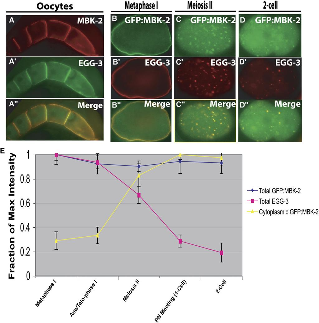 Regulation of MBK-2 by EGG-3 1547 Figure 2. MBK-2 and EGG-3 Colocalize In Vivo (A) Oocytes costained with a-mbk-2 (A) and a-egg-3 (A 0 ) antibodies.