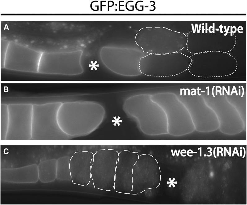 Regulation of MBK-2 by EGG-3 1551 Figure 6. GFP:EGG-3 Internalization and Degradation Is Controlled by the Meiotic Cell Cycle Live wild-type (A), mat-1(rnai) (B), or wee- 1.