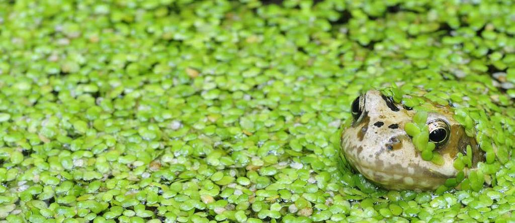 In my lab over the past 9 years at the School of Environmental and Biological Sciences of Rutgers, we have worked toward realizing the potential of a tiny aquatic plant, duckweed, as a platform for