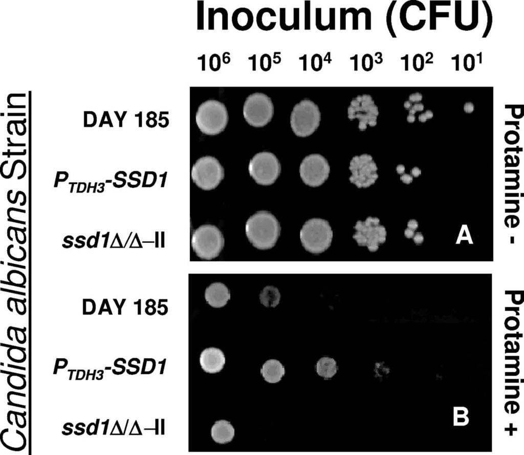 1324 GANK ET AL. EUKARYOT. CELL FIG. 3. Impact of SSD1 overexpression on protamine resistance in C. albicans.