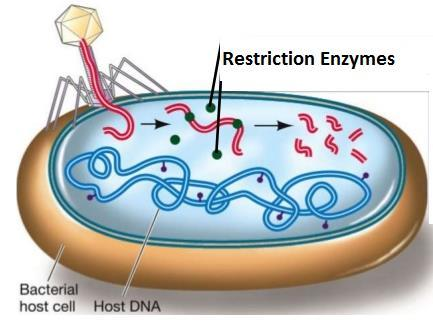 Restriction Enzymes Enzymes (proteins) that