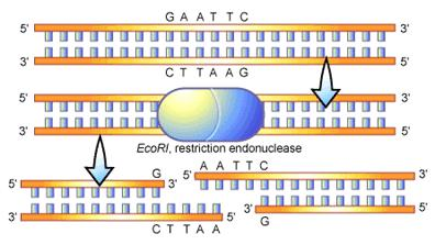 Restriction Enzymes Cut DNA at sequences known as recognition sites Use restriction enzymes as