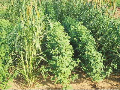 Improved Cultivation Practices for Clusterbean in Kharif and Summer Season Clusterbean (Cyamopsis tetragonoloba L.Taub.