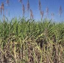 It is a grass What is Sugarcane?
