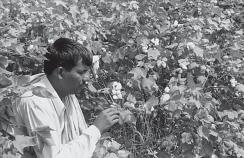 Cotton and jute are two main fibre crops grown in India. Cotton Cotton is a tropical crop grown in kharif season in semi-arid areas of the country.