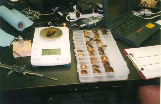 Re-measuring Mussels at