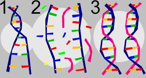 DNA Replication: DNA-copied = identical DNAs