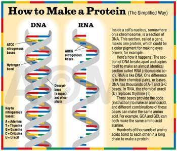 How are PROTEINS made?