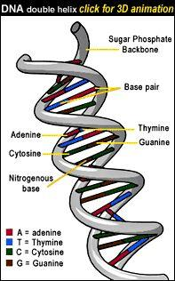 DNA 2 chains of STRUCTURE: