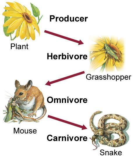 Food Chains show only energy pathway Make its own food Eats plants and other heterotrophs Eats dead things Eats only plants Eats other heterotrophs This is the First Word Bank: Consumer (3 times)