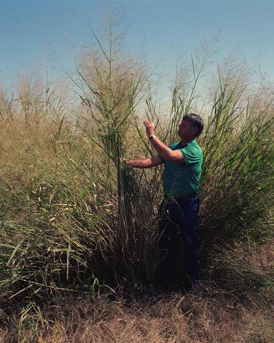 Prospective energy crops have not been subject to intensive breeding Miscanthus sp. Switchgrass (Panicum virgatum) Courtesy of Steve Long & Emily Heaton.