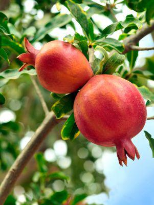 FE1024 Growing Pomegranates in Florida: Establishment Costs and Production Practices 1 Feng Wu, Zhengfei Guan, and Gary Vallad 2 Introduction Pomegranate, native to central Asia and mainly produced
