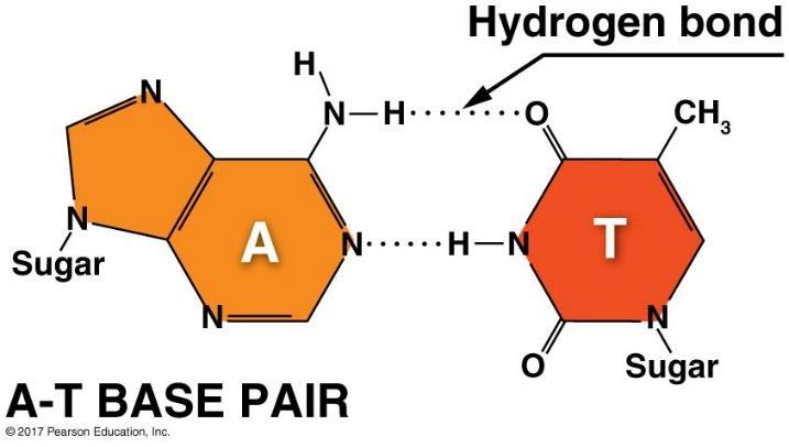 The hydrogen bonds within base pairs hold the two strands of the double helix together.
