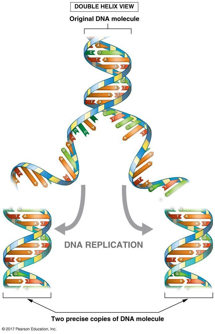 During DNA replication, a cell duplicates its chromosomes: Semi-conservative replication 3. In the end, two new DNA molecules are produced. a. Semi-conservative each contains one newly created strand and one strand from the original molecule.