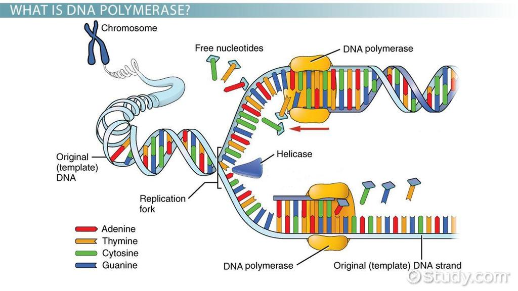 During DNA replication, a cell duplicates its chromosomes: The process of DNA replication C. The process of DNA replication 1. The double helix is peeled apart. a. This exposes the bases. 2.