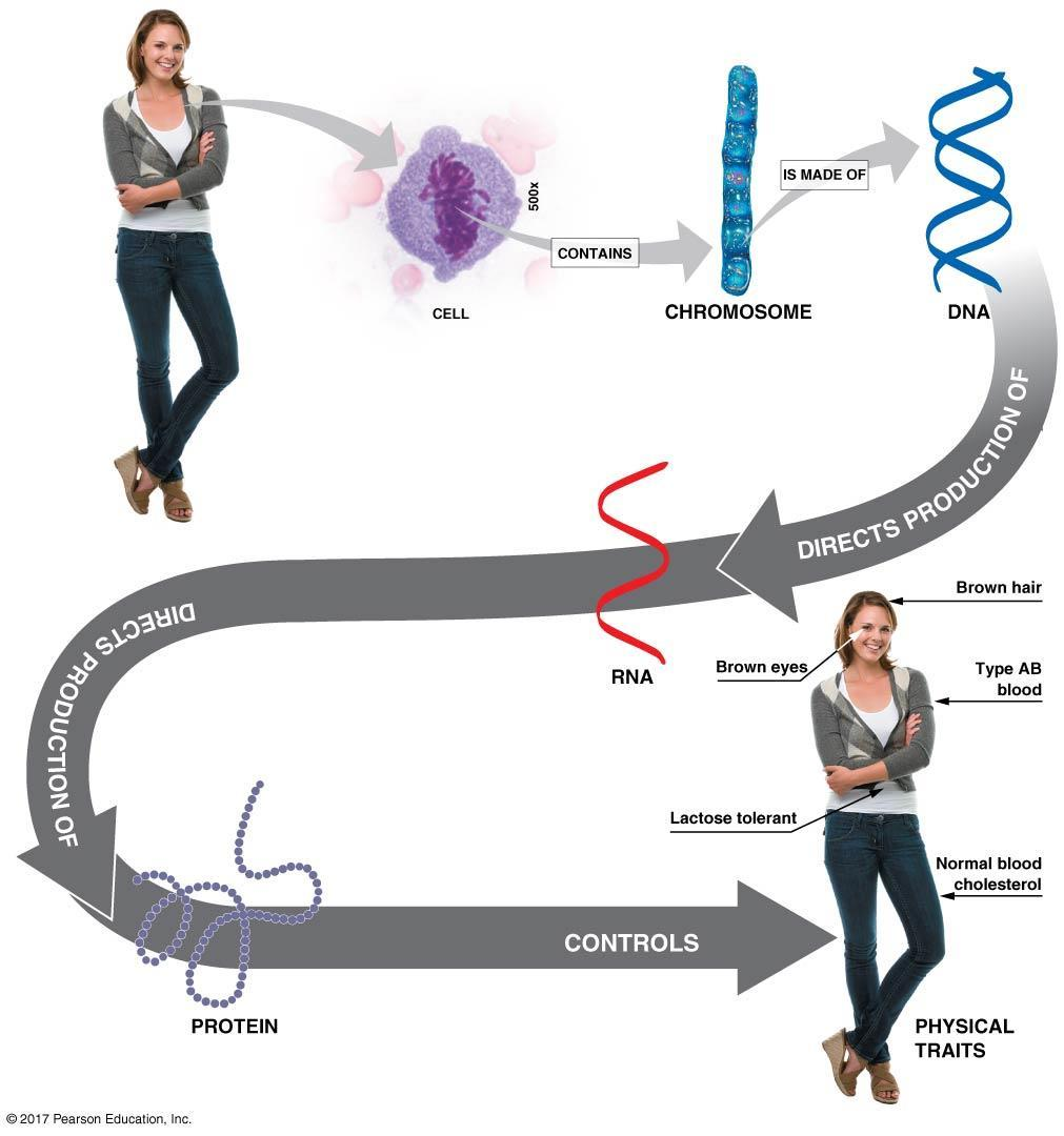 Genetic information flows from DNA to RNA to protein: Every trait you were born with is encoded by the DNA of your genes A.