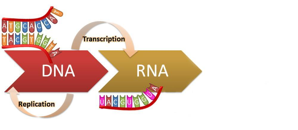 Genetic information flows from DNA to RNA to protein: Flow of genetic information through the cell B.