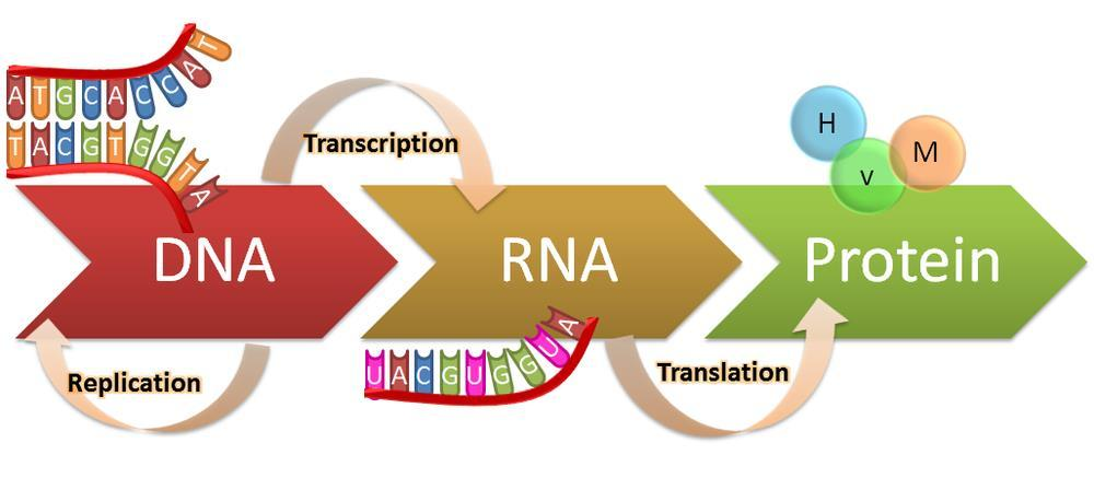 Genetic information flows from DNA to RNA to protein: Flow of genetic information through the cell B. Flow of genetic information through the cell 1.
