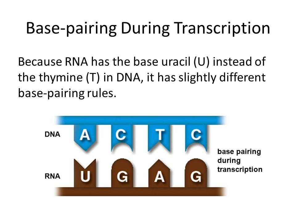 Genetic information flows from DNA to RNA to protein: Transcription overview 6.