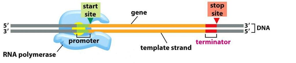 Transcription creates RNA from DNA: RNA polymerase binds a promoter B. RNA polymerase binds a promoter. 1. RNA polymerase binds to the promoter (DNA sequence).