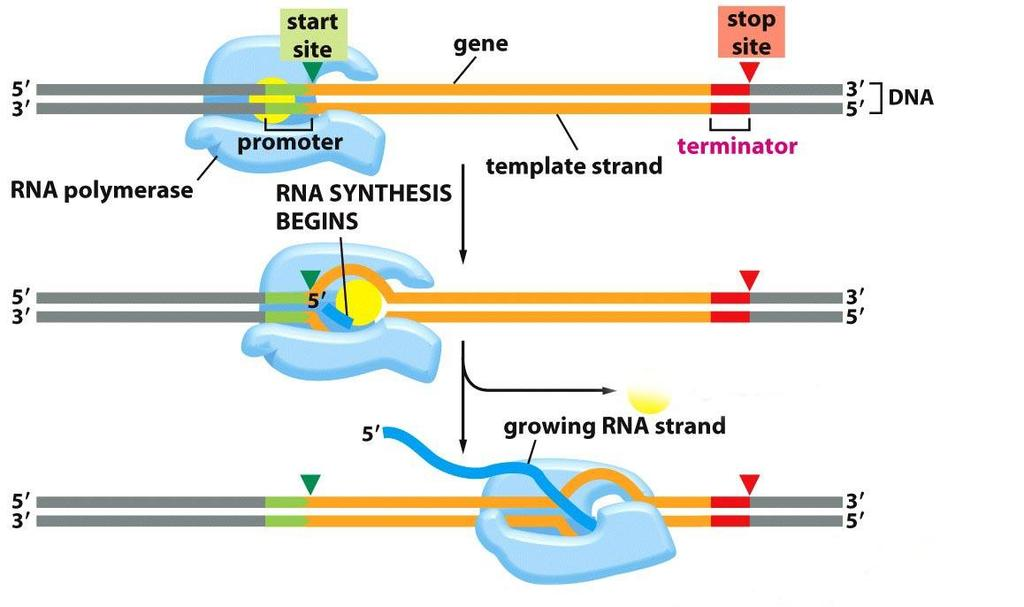Transcription creates RNA from DNA: RNA polymerase synthesizes a molecule of RNA C. RNA polymerase synthesizes a molecule of RNA. 1.