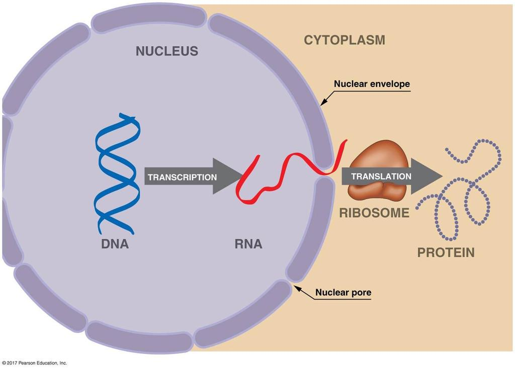 Translation involves the coordination of three kinds of RNA: Translation A. Translation 1.