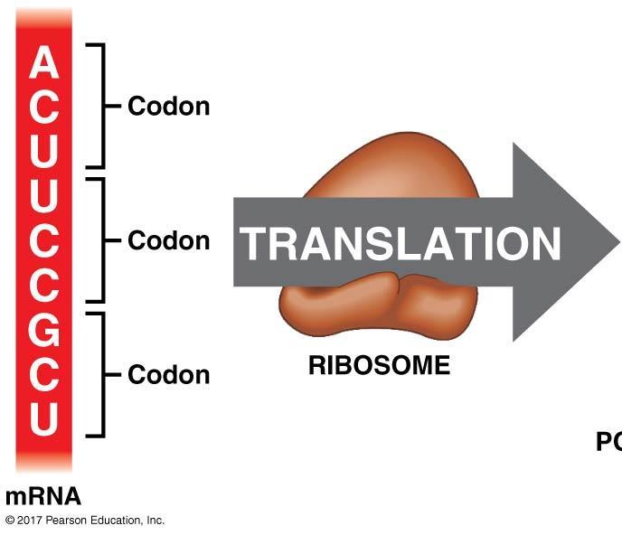 Translation involves the coordination of three kinds of RNA: Ribosomes 4.
