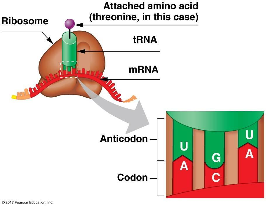 Translation involves the coordination of three kinds of RNA: Transfer RNA C. Transfer RNA 1. trnas (transfer RNAs) have an anticodon at one end.