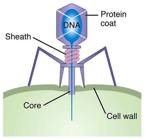 Bacteriophages-bacteria eater Virus that infects bacteria