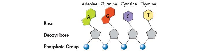 Nitrogenous Bases and Covalent Bonds DNA has four kinds of