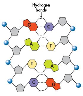 Hydrogen Bonding & Base Pairing Hydrogen bonds would form only