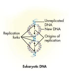 In eukaryotic cells, replication may begin at dozens or even