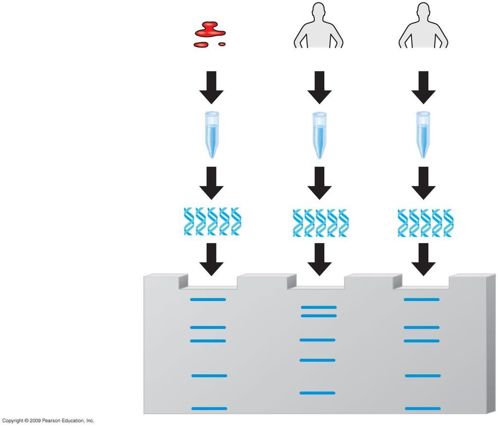 patient Bone marrow 9 Profiling Analysis of fragments to determine whether they come from a particular individual Polymerase chain reaction (PCR) - allows for amplification (making many copies) of a