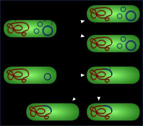 Plasmids can integrate themselves in chromosomal DNA using enzymes that cut the DNA and integrate itself within bacterial DNA.