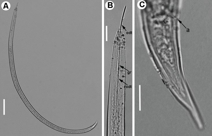 Light micrographs of first-stage juvenile of Xiphinema herakliense Tzortzakakis et al., 2015. A) Whole body.