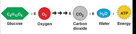 6 Carbon is in food, the atmosphere, water, rocks, soils, organisms, and fossil fuels. Carbon moves through organisms and between organisms and the physical environment in the.