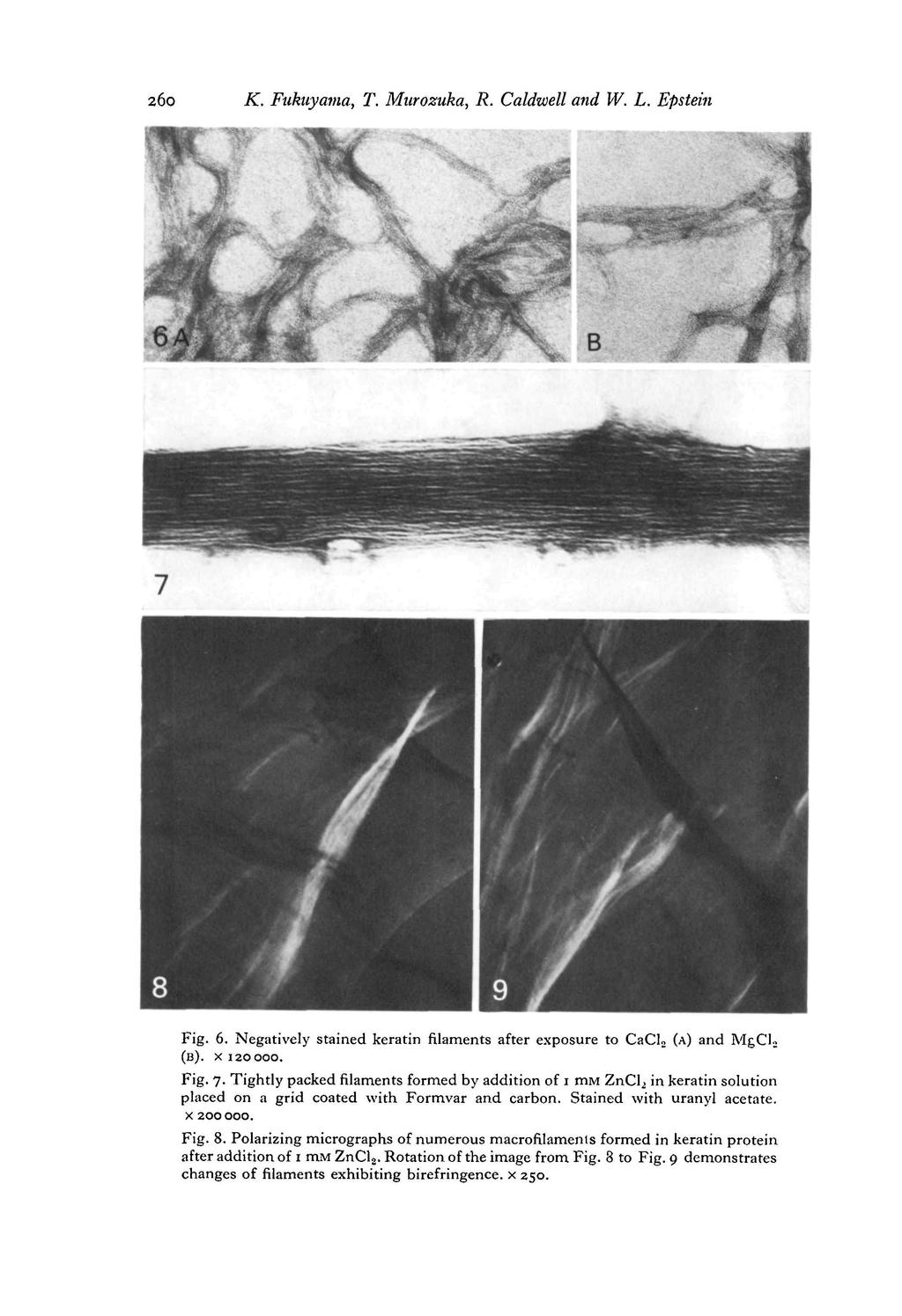 260 K. Fnkuyama, T. Murozuka, R. Caldwell and W. L. Epstein Fig. 6. Negatively stained keratin filaments after exposure to CaCl 2 (A) and MgCl 2 (B). x 120000. Fig. 7.