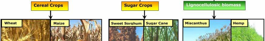 (sugar cane and sugar beet) It could be used as transport fuel (blended with petrol at